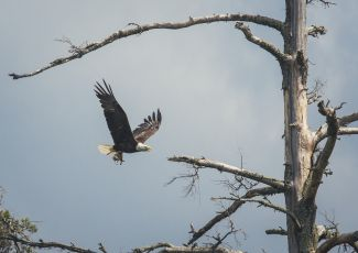 An eagle flies near thunder bay